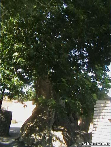 درخت چنار ۱۷۰۰ ساله خامنه